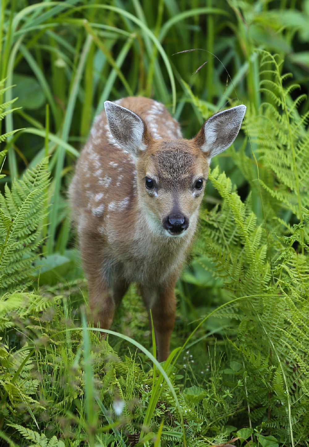 Sitka blacktail fawn cute pretty