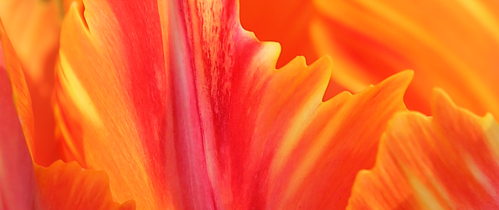 Fire tulip closeup orange red pretty brushstrokes abstract