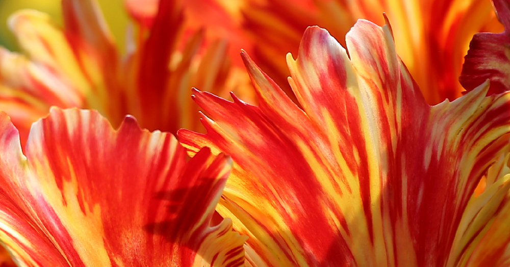 Fire tulip abstract brushstrokes