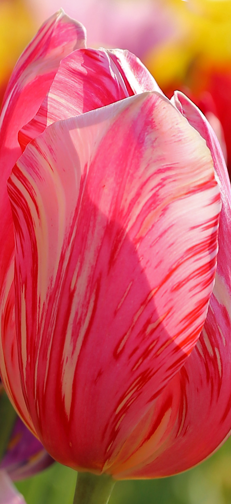 Beautiful pink painted tulip pretty closeup