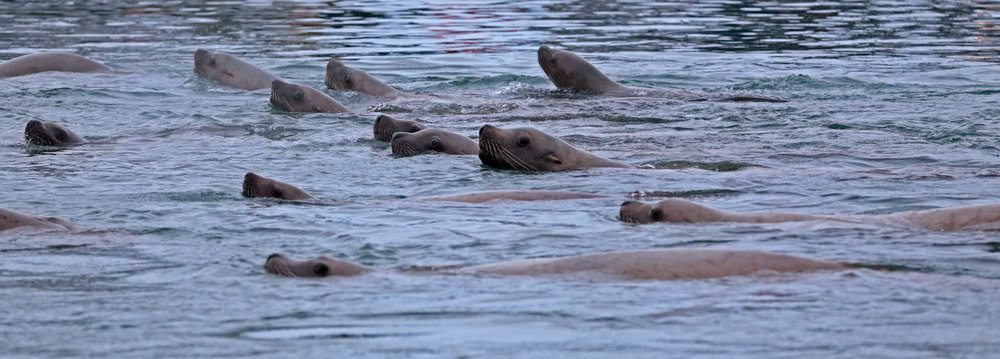 Herd of Stellar's sea lions Southeast Alaska