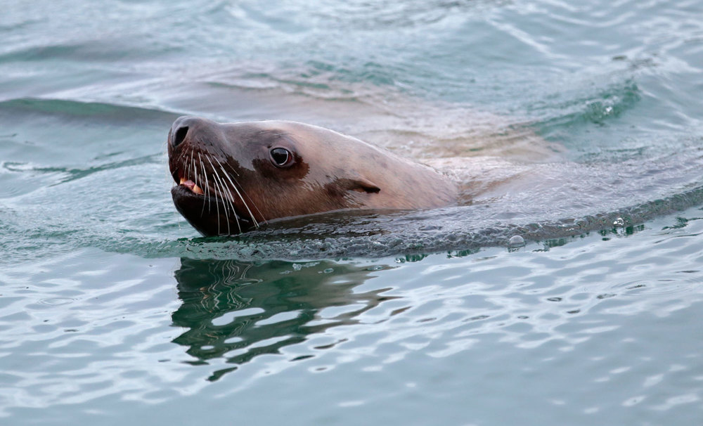 Stellar sea lion cow turning in the water Southeast Alaska