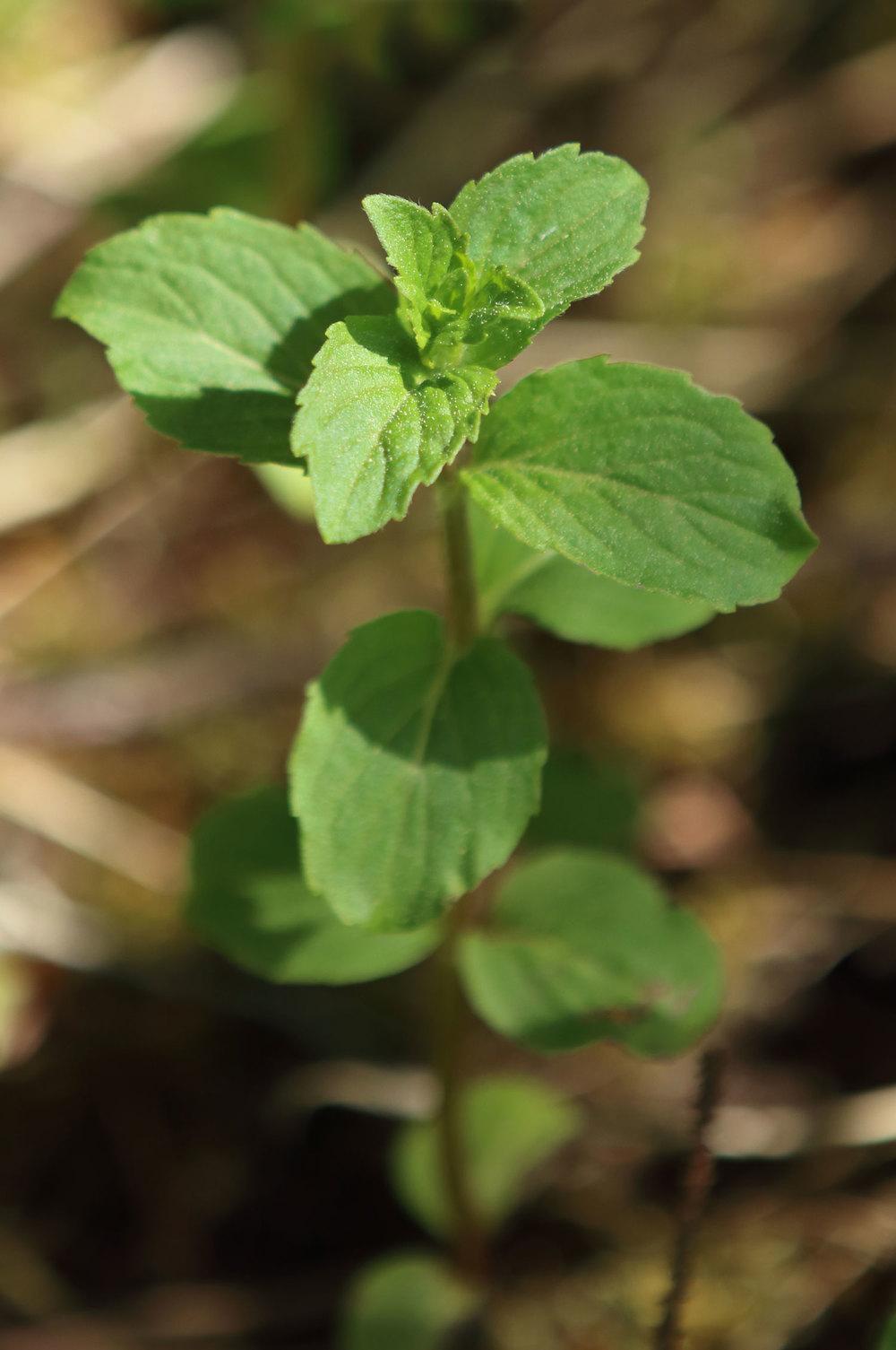 Field mint wild mint Southeast Alaska Mentha arvensis