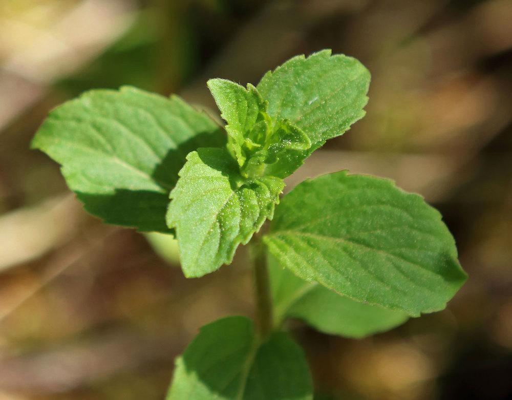 Field Mint