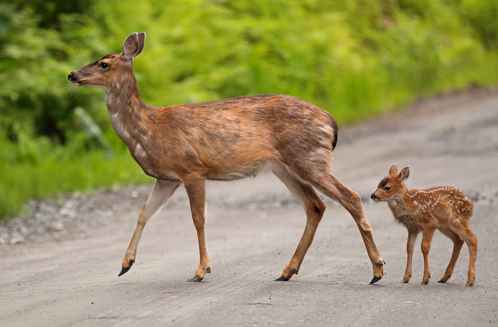 Deer doe fawn Alaska Sitka Blacktail newborn cute