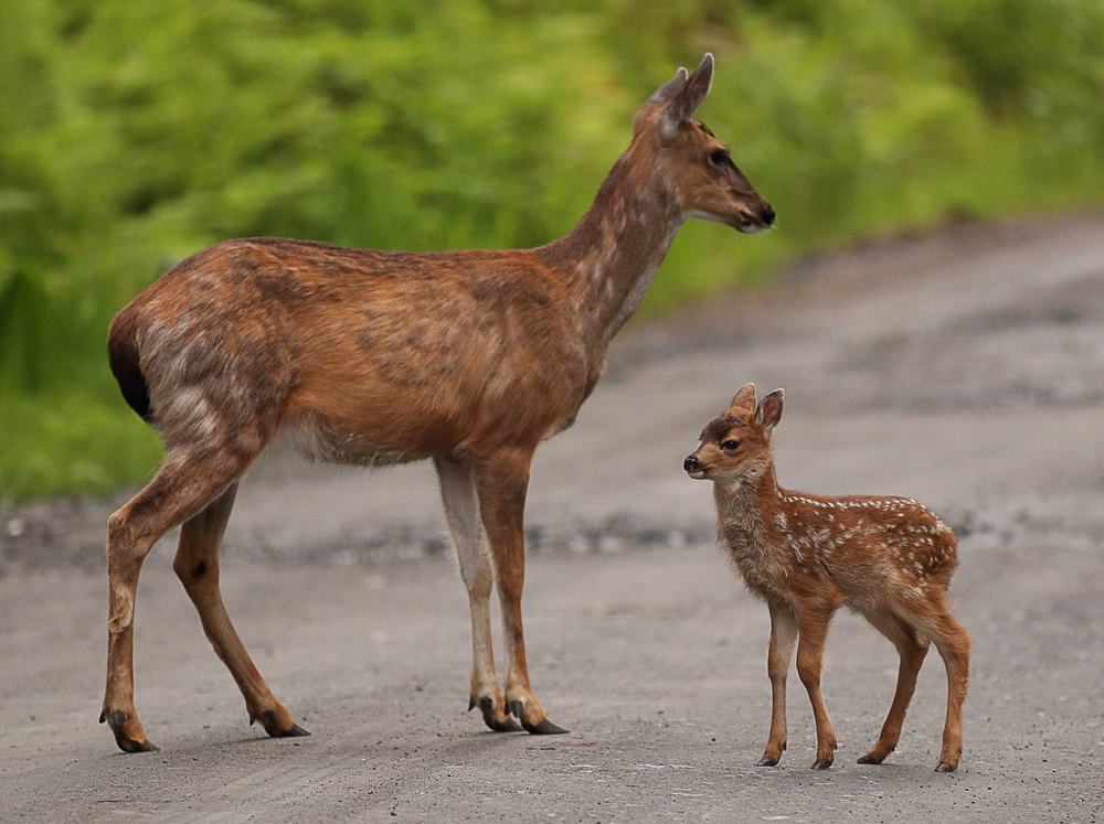 Deer doe fawn Sitka Blacktail Southeast Alaska super cute