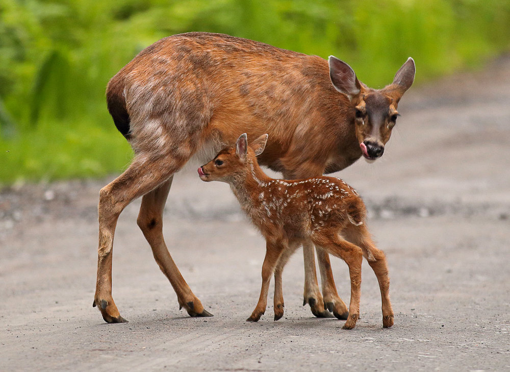 Deer licking chops doe fawn Sitka Blacktail in Southeast Alaska Super cute