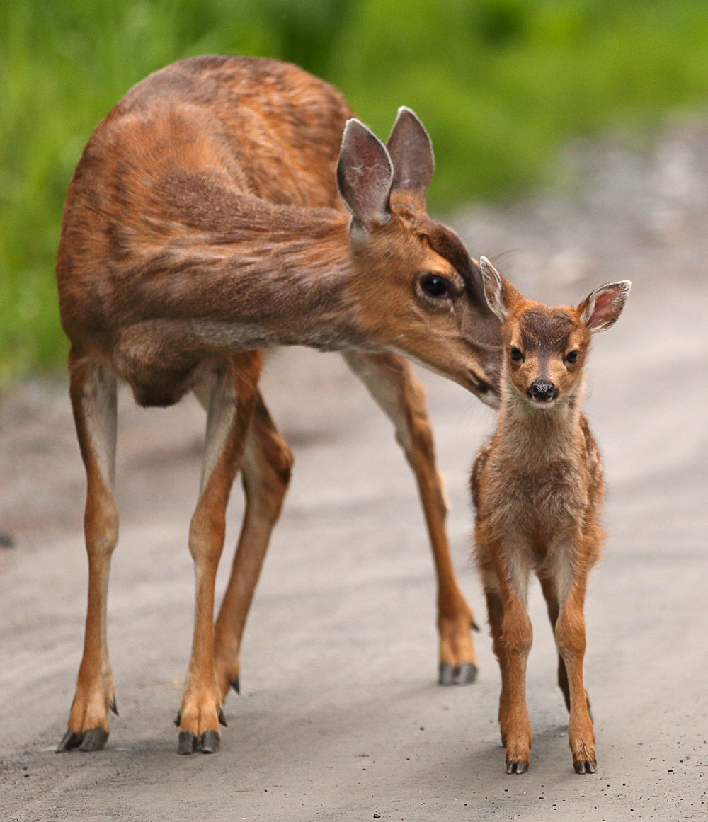 Sitka blacktail deer doe and fawn in Southeast Alaska super cute pretty