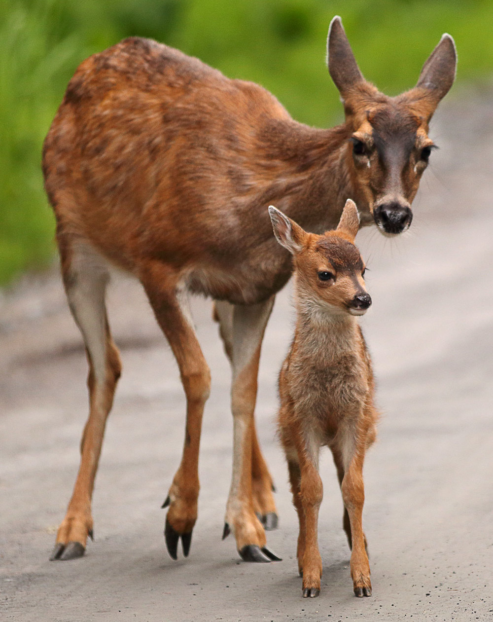 Sitka Blacktail deer doe and fawn in Southeast Alaska cute and pretty so sweet