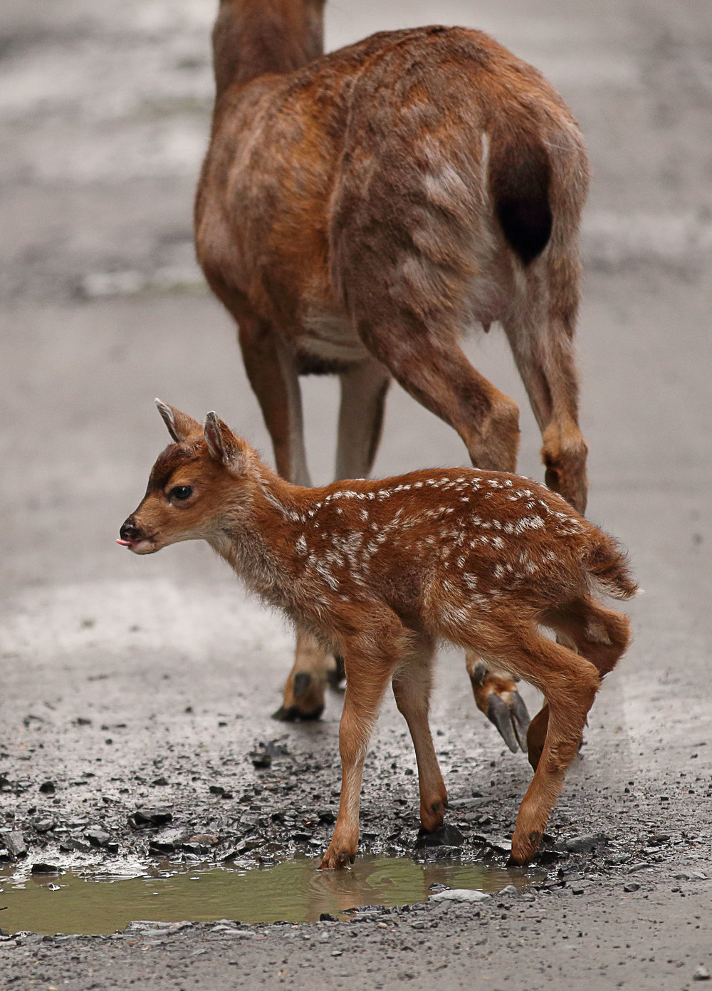 Sitka blacktail super cute fawn playing in a mud puddle in Southeast Alaska