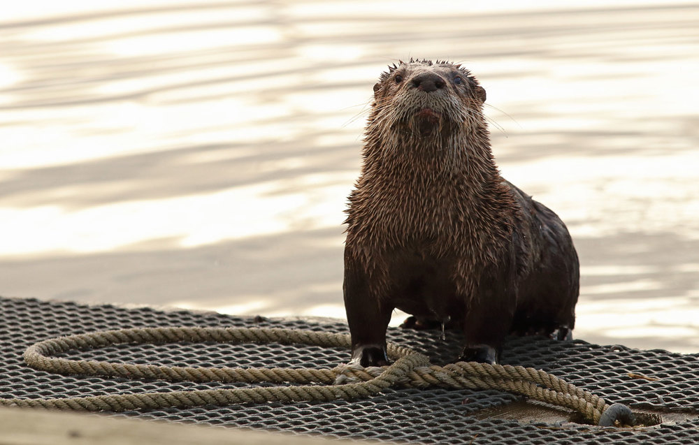 River otter on a dock in Coffman Cove, Southeast Alaska with foot in the bight of the line