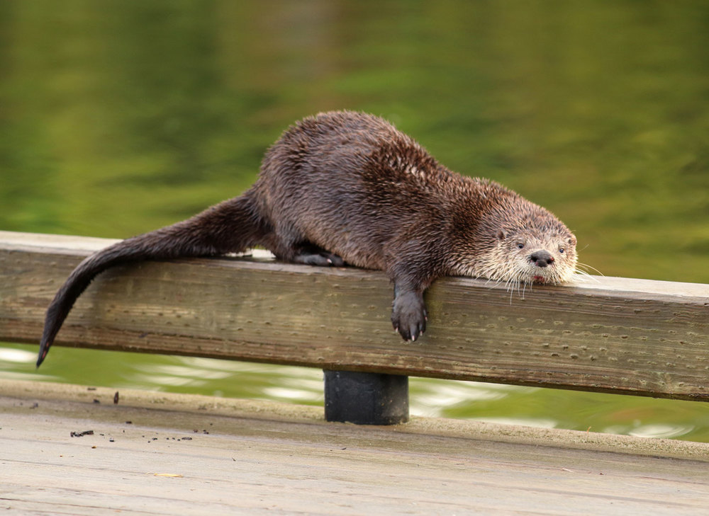 Cute river otter on rail at airplane dock in Coffman Cove Southeast Alaska