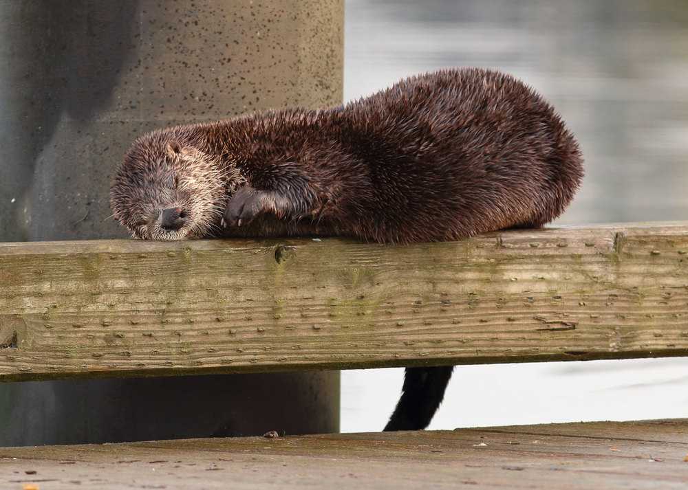 River otter smiling nap on the rail of the dock at Coffman Cove Southeast Alaska