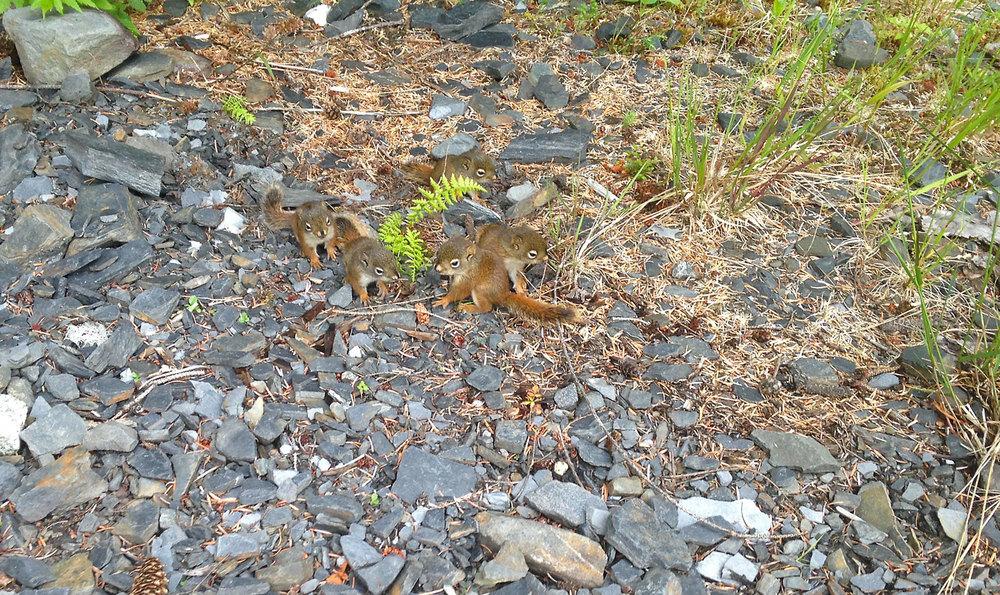 Baby squirrels in Wrangell Alaska