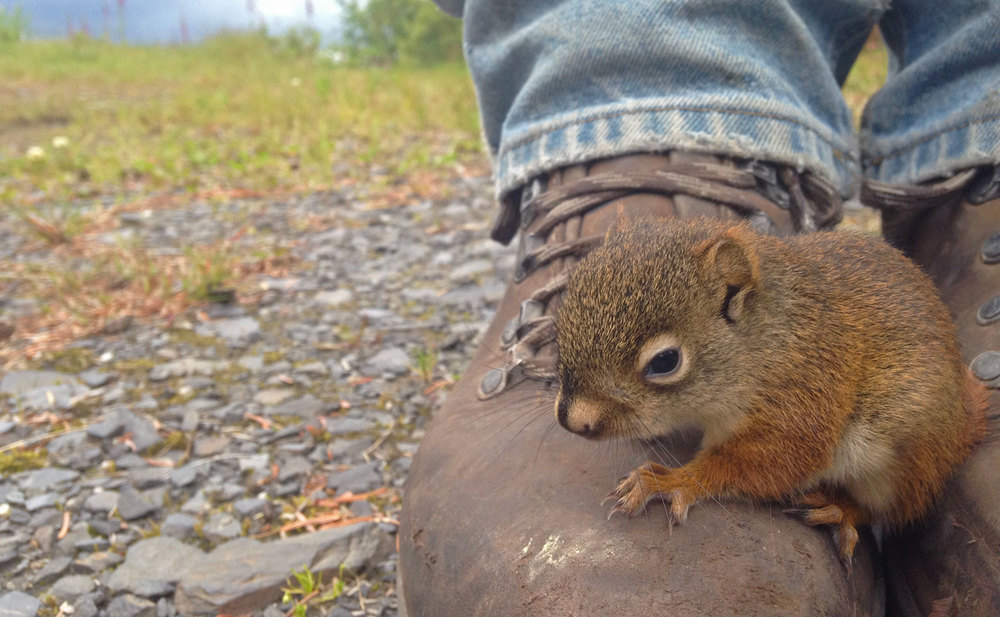 Baby red squirrel on a boot in Wrangell Southeast Alaska