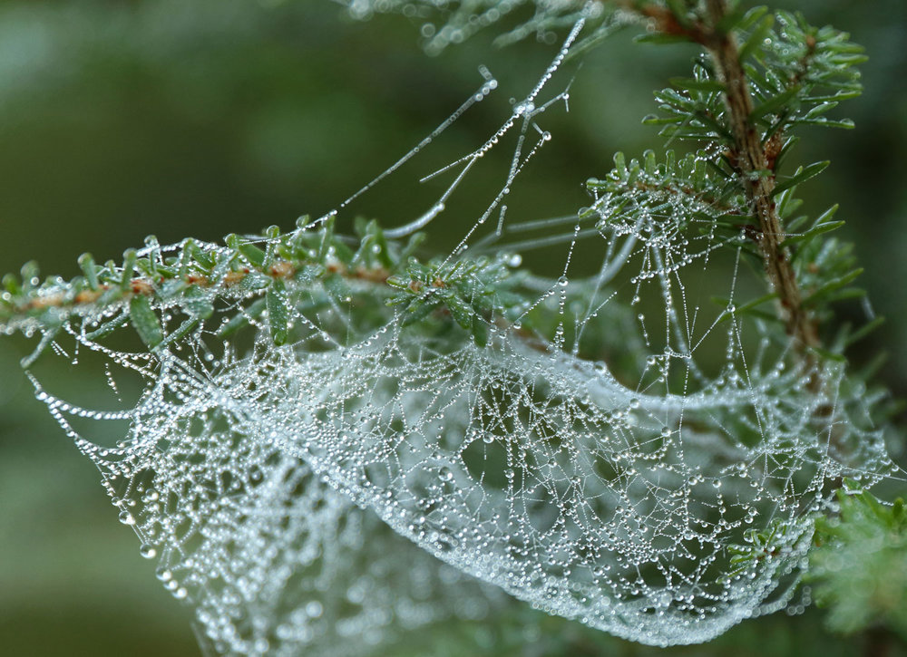 Spider web with dewdrops on hemlock branch
