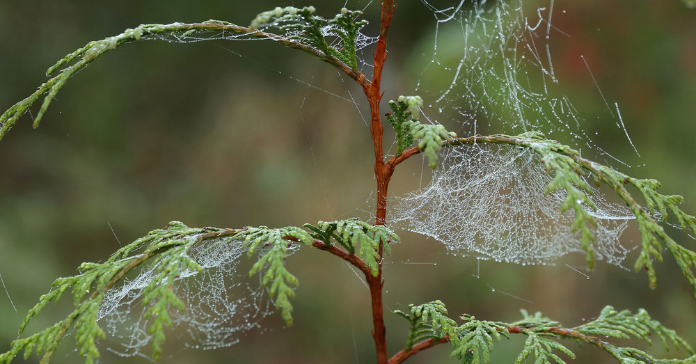 Spider webs with dew drops on cedar tree
