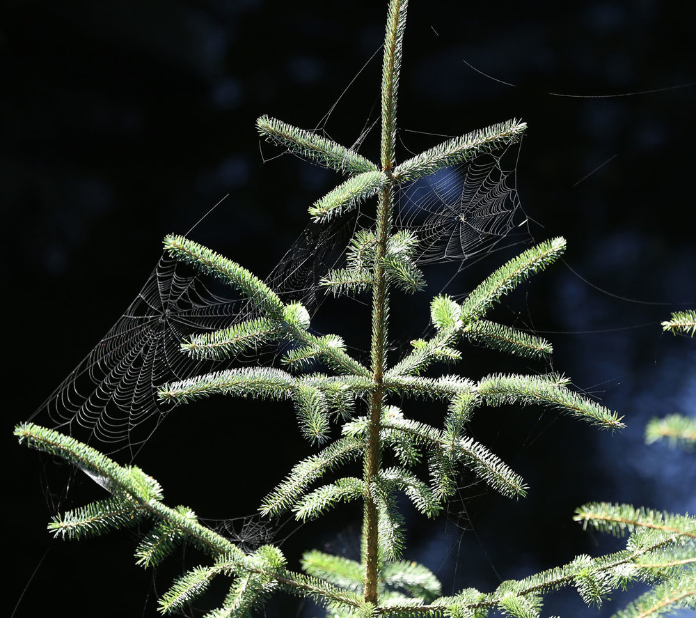 Spider webs on a spruce tree branch