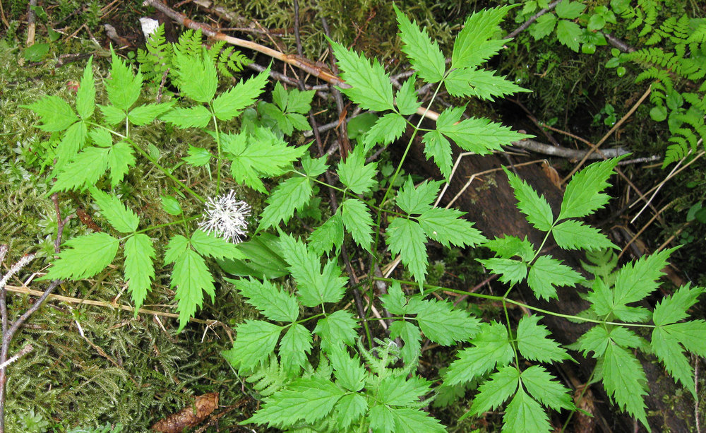 The entire baneberry plant is poisonous. The shoots can vaguely resemble fiddleheads in the springtime, but if you are at all observant then you won't confuse the two. The blossoms are frilly white clusters. Leaves can be somewhat like salmonberry leaves.
