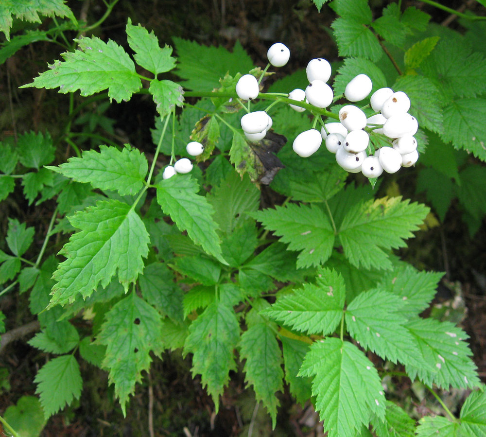 Baneberry hanging out with salmonberry. Baneberry leaves on the left, and salmonberry leaves on the right.