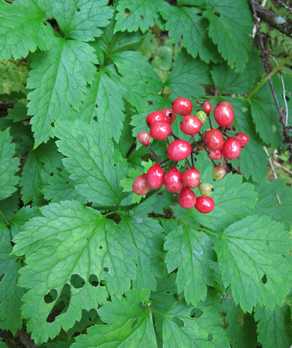 Red baneberries just ripening. Note the more rounded leaves.