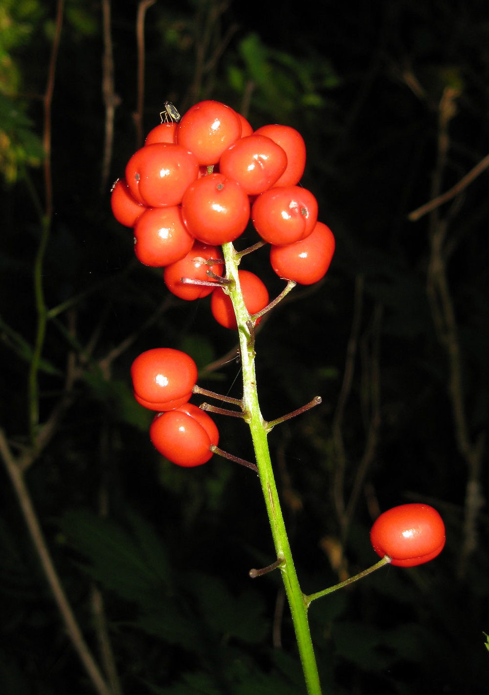baneberry red berries poisonous plant Southeast Alaska