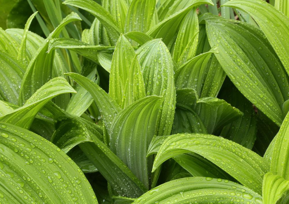 false hellebore Veratrum hellebore poisonous plant in Southeast Alaska