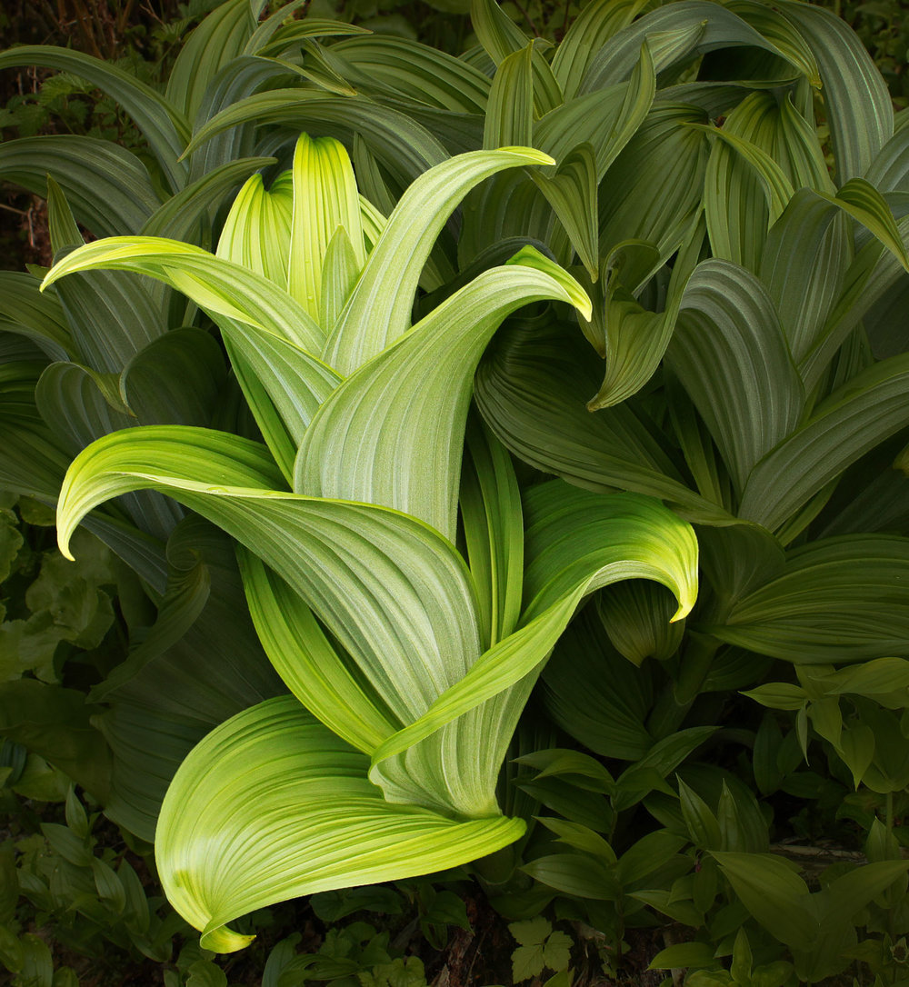 This image has been Photoshopped to isolate the form of one false hellebore plant. Pretty, no?