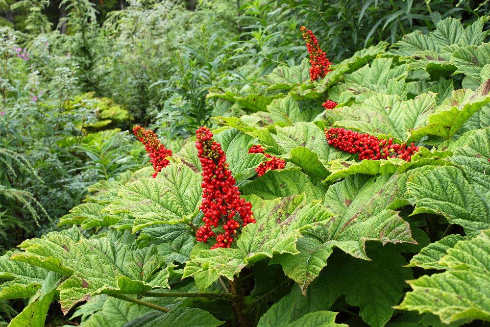 devil's club berries Southeast Alaska