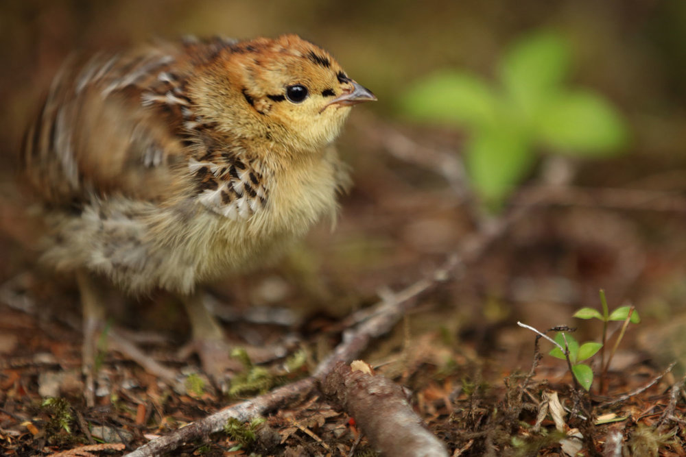 Spruce grouse chick fluffing its feathers in Southeast Alaska