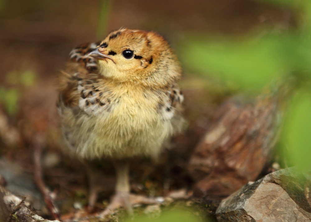 Cute spruce grouse chick in Southeast Alaska
