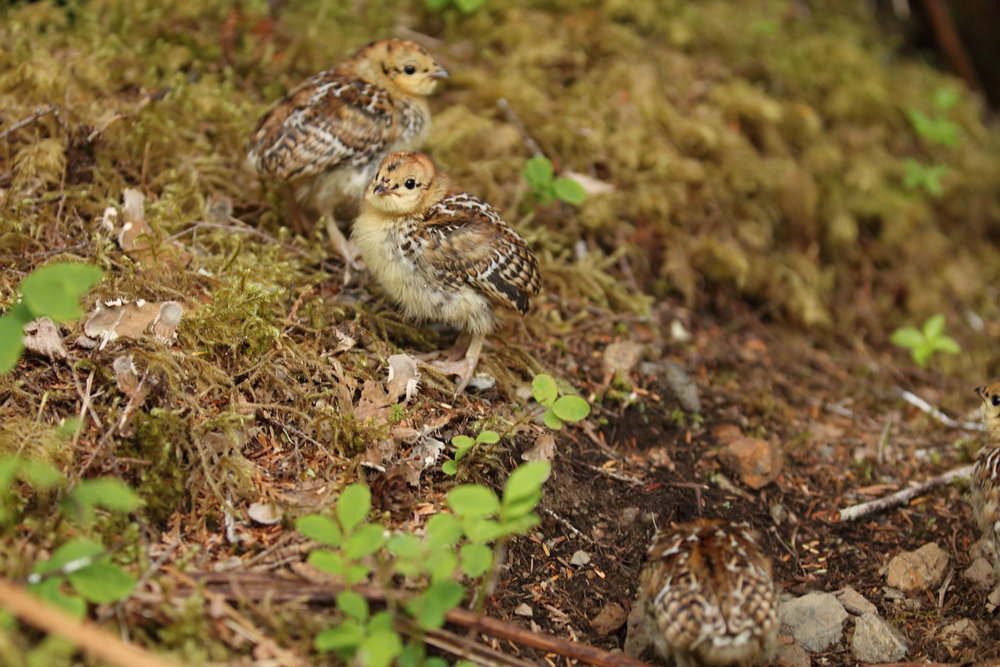 Grouse chicks on Prince of Wales Island in Southeast Alaska