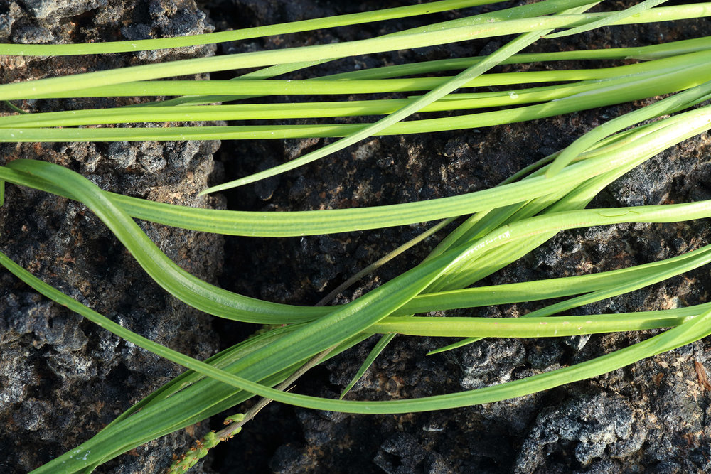Arrowgrass leaves (top)and goosetongue leaves (bottom)