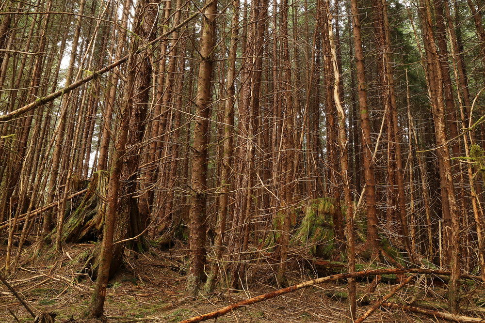 As the second-growth trees grow they shade out much of the forest floor for many years. The limited biodiversity makes a different kind of forest.