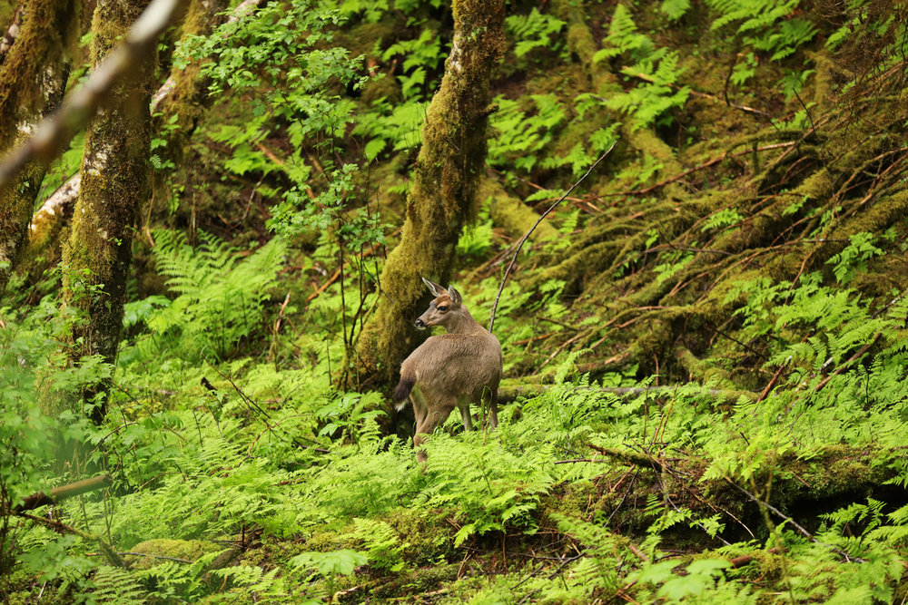 Sitka blacktail doe in the forest