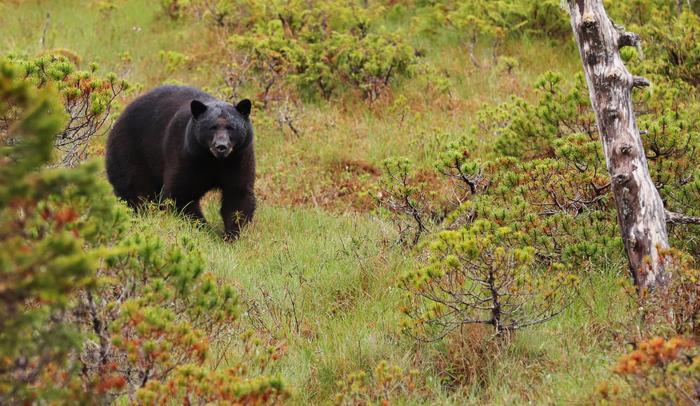 Black bear in Southeast Alaska