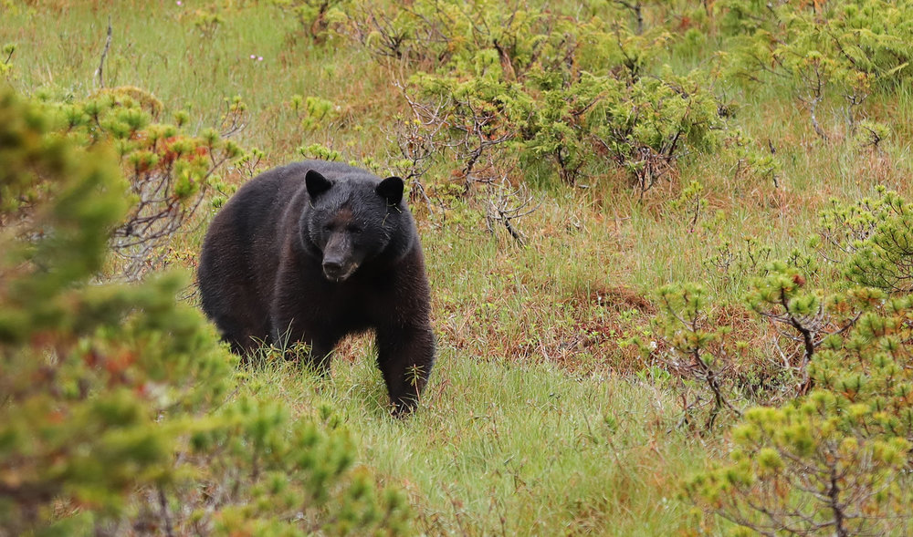 Black Bear in meadow in Southeast Alaska