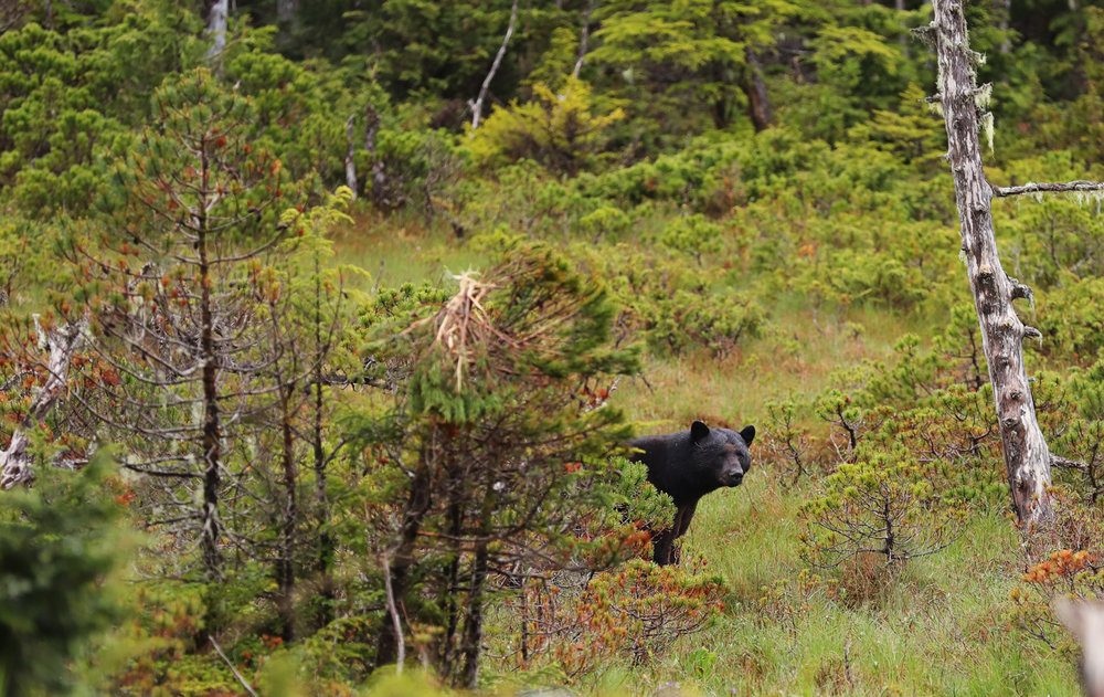 Black bear behind bush in Southeast Alaska