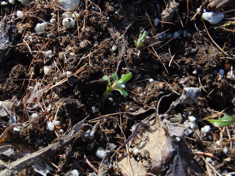 Wormwood seedling Artemisia tilesii mugwort stinkweed medicine Alaska