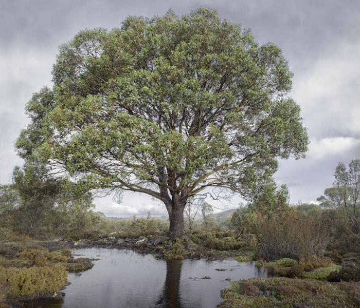Miena Cider Gum Eucalyptus gunnii photo by Steven Pearcee