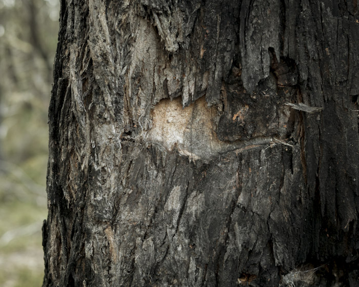Aboriginal use of Miena Cider Gum photo by Steven Pearce
