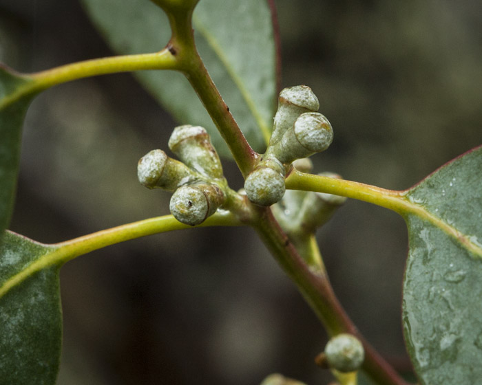 Eucalyptus gunnii spp. gunnii photo by Steven Pearce