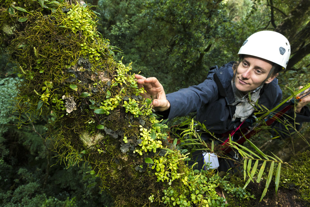 Lead researcher Jen Sanger reaches out to retrieve samples of epiphytes on a branch some 30m from the forest floor.