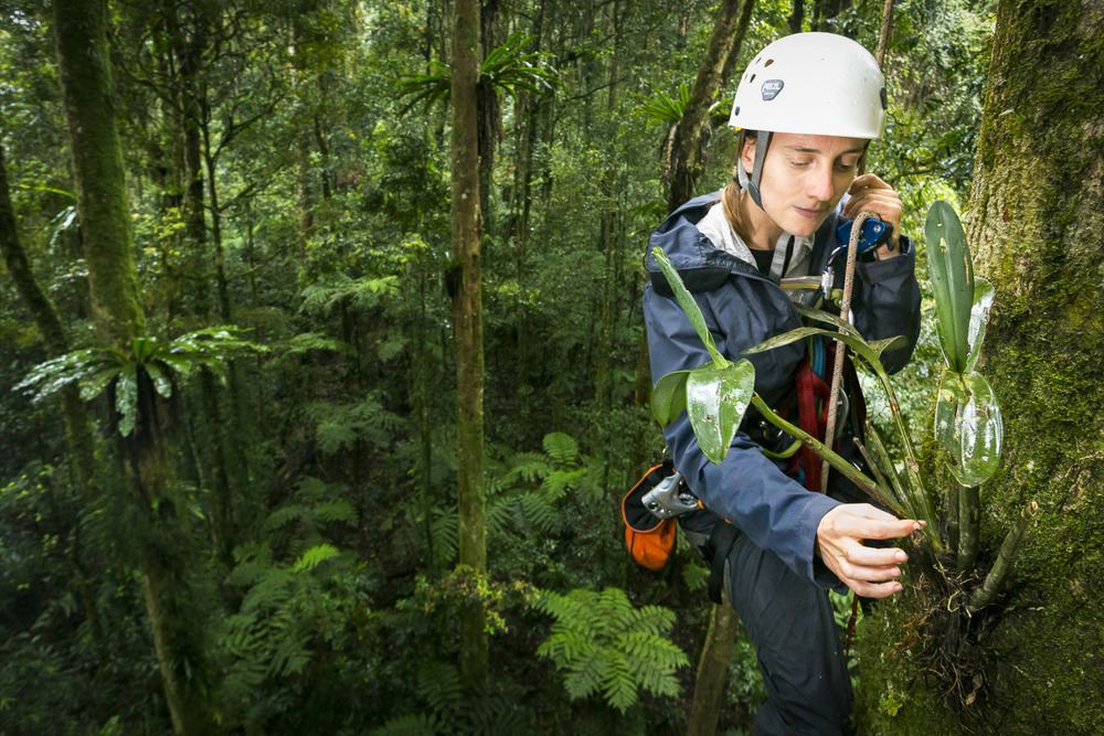 Lead researcher Jen Sanger reaches out to retrieve samples of epiphytes on the upper trunk of a giant fig tree some 30m from the forest floor.