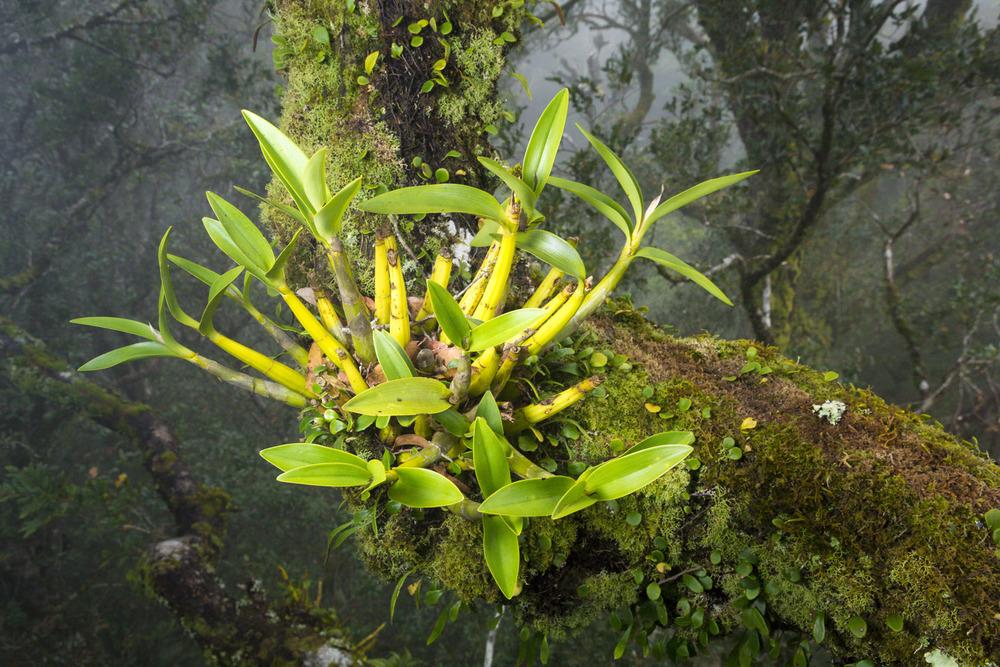Beech Orchid (Dendrobuim falcorostrum)