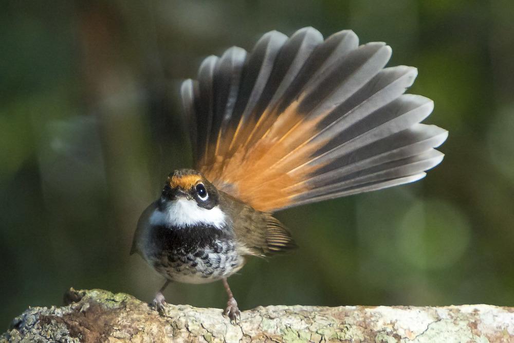 Rufus Fantail - Rhipidura rufifrons
