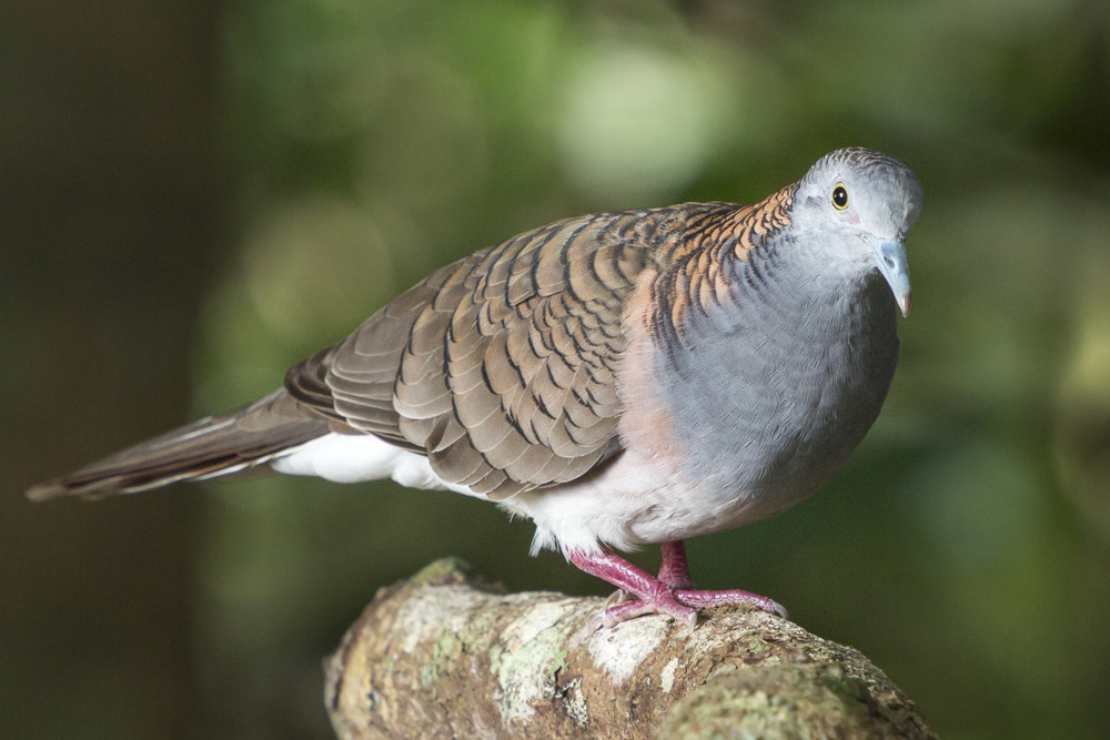 Bar Shouldered Dove - Geopelia striata