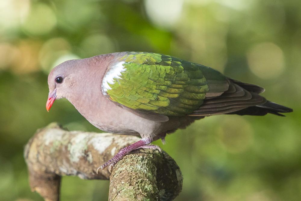 Emerald Dove - Chalcophaps indica