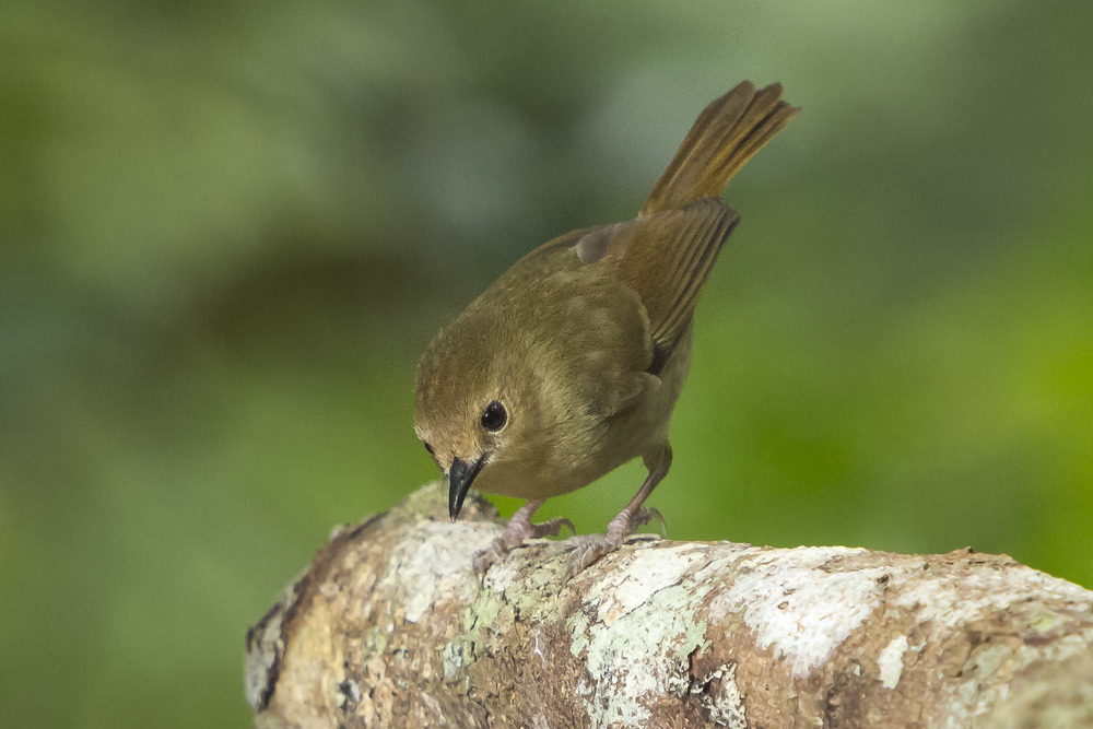 Large Billed Scrubwren - Sericornis Keri