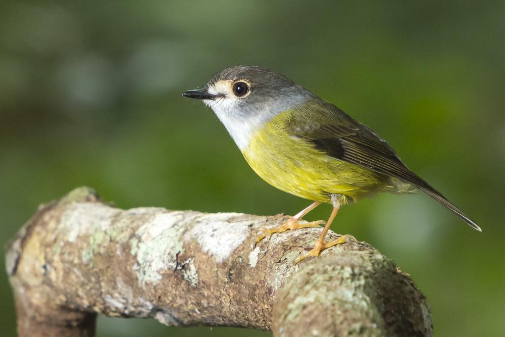 Pale Yellow Robin - Tregallasia capito